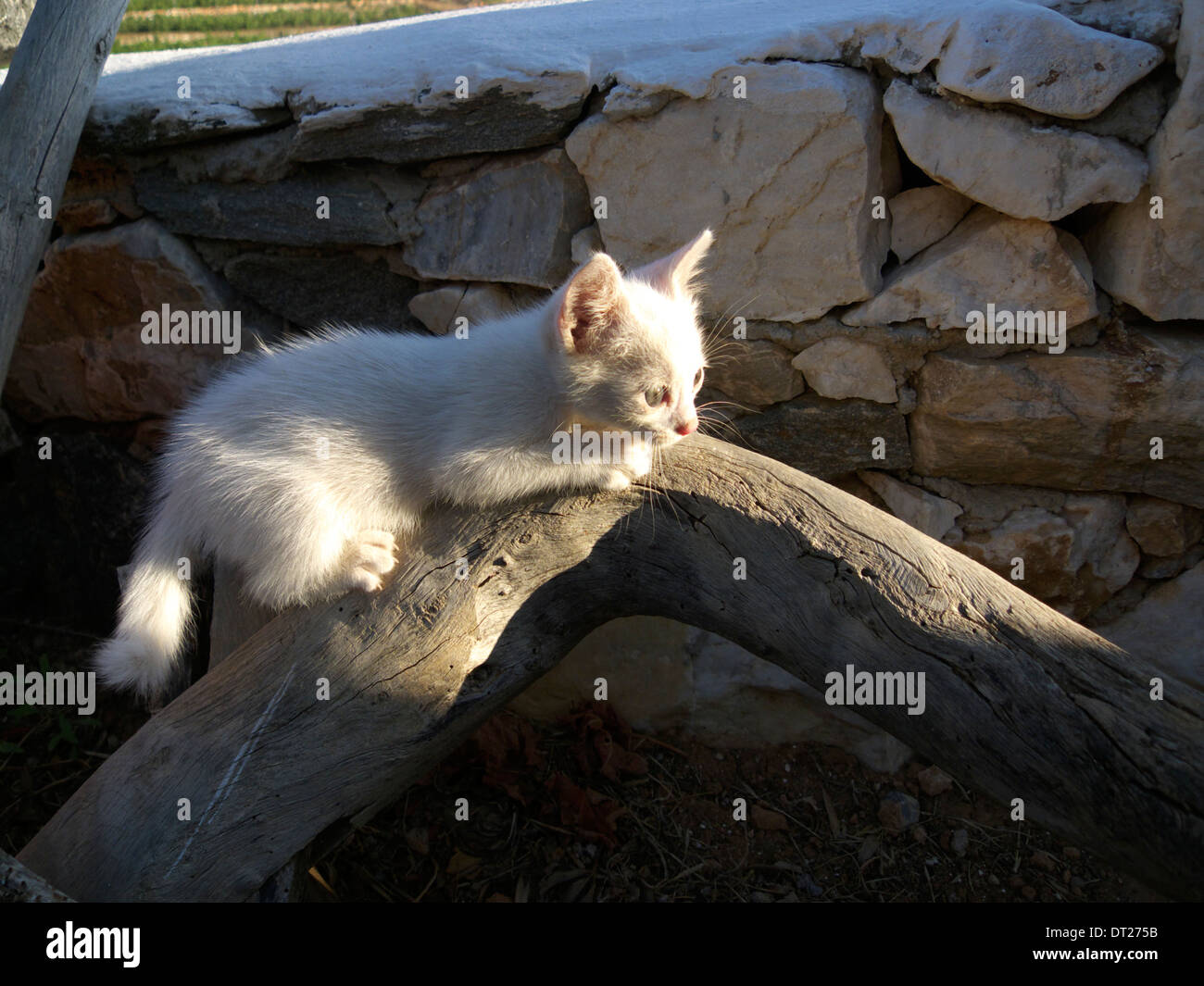 greece cyclades a photogenic stray white kitten - Stock Image