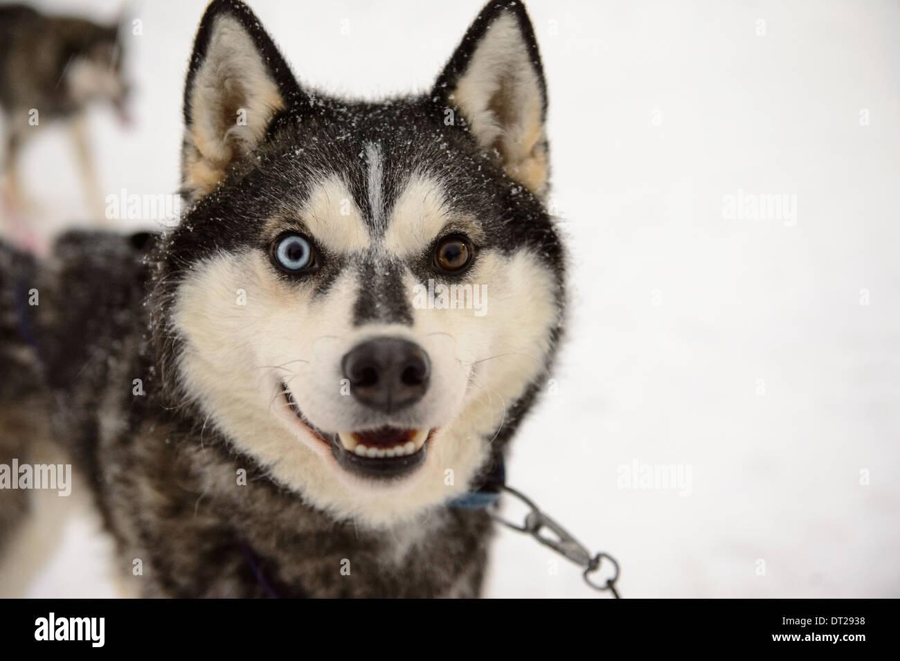 Husky smiling - Stock Image