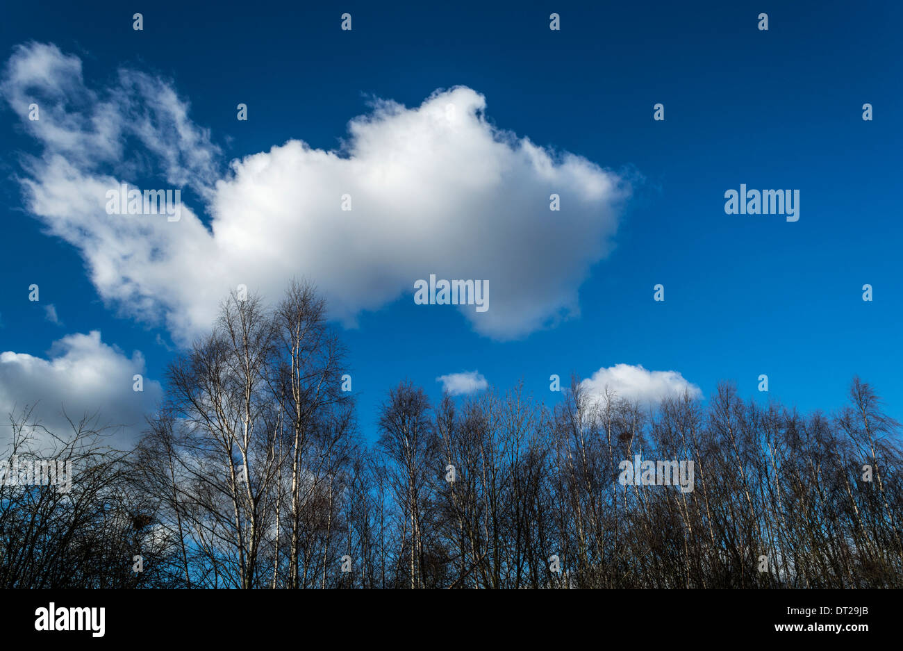 Silver Birch Trees against Blue sky with white clouds - Stock Image