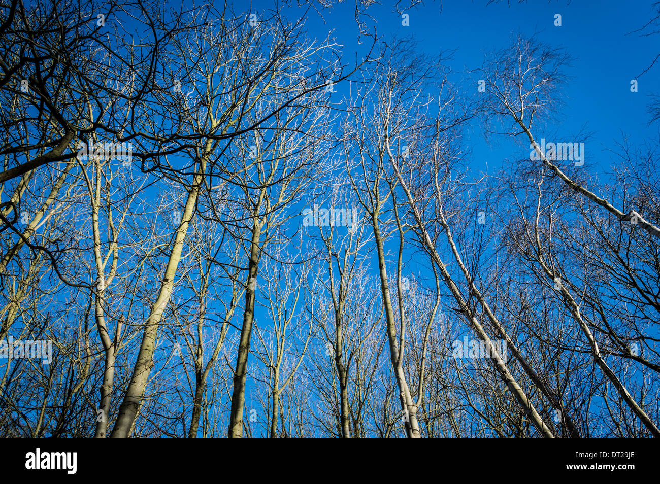 Silver Birch Trees against Blue sky - Stock Image