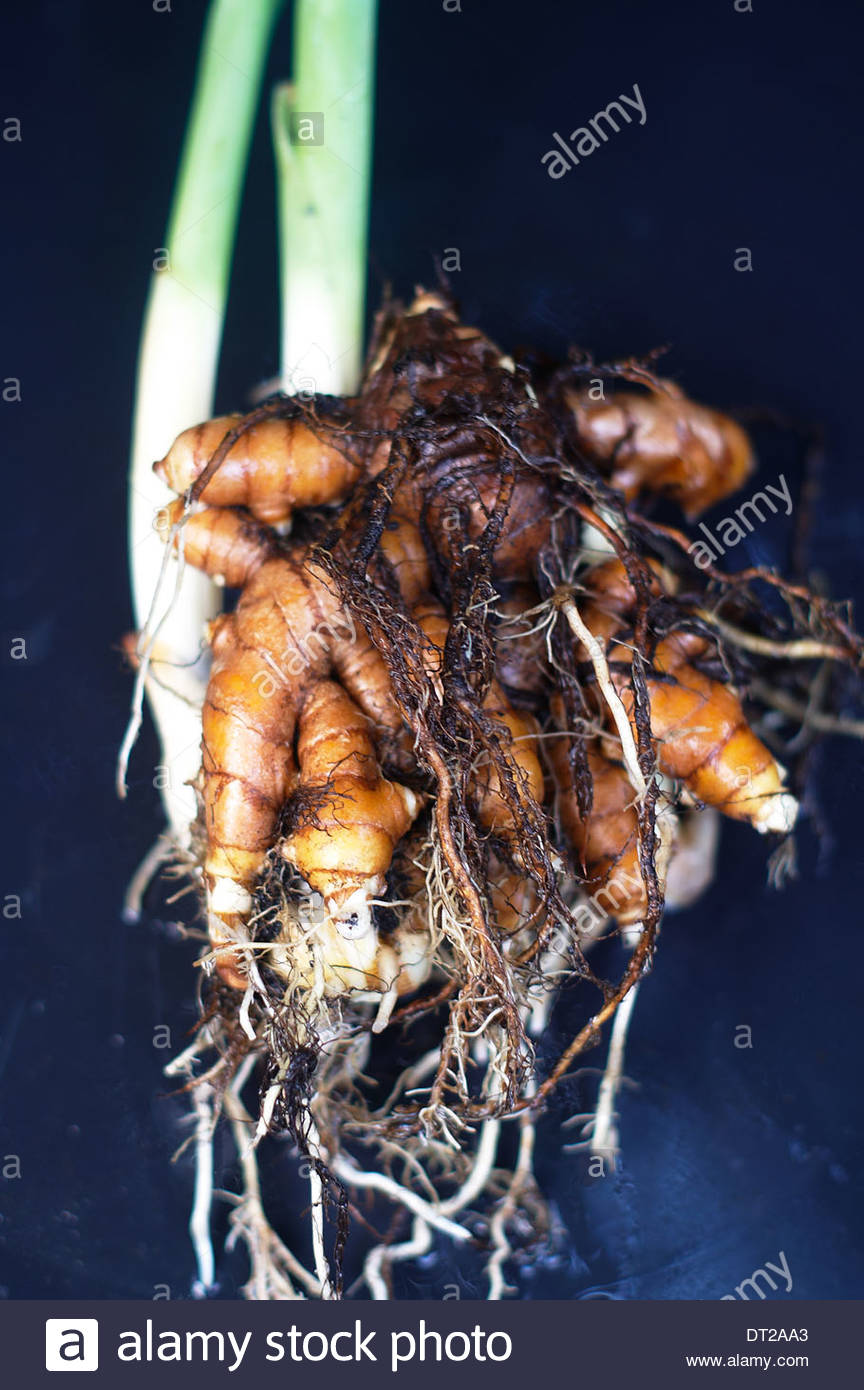 An uprooted Turmeric plant - roots and all - showing the different parts of the plant.  The rhizome is wet from washing, and the background is black. - Stock Image