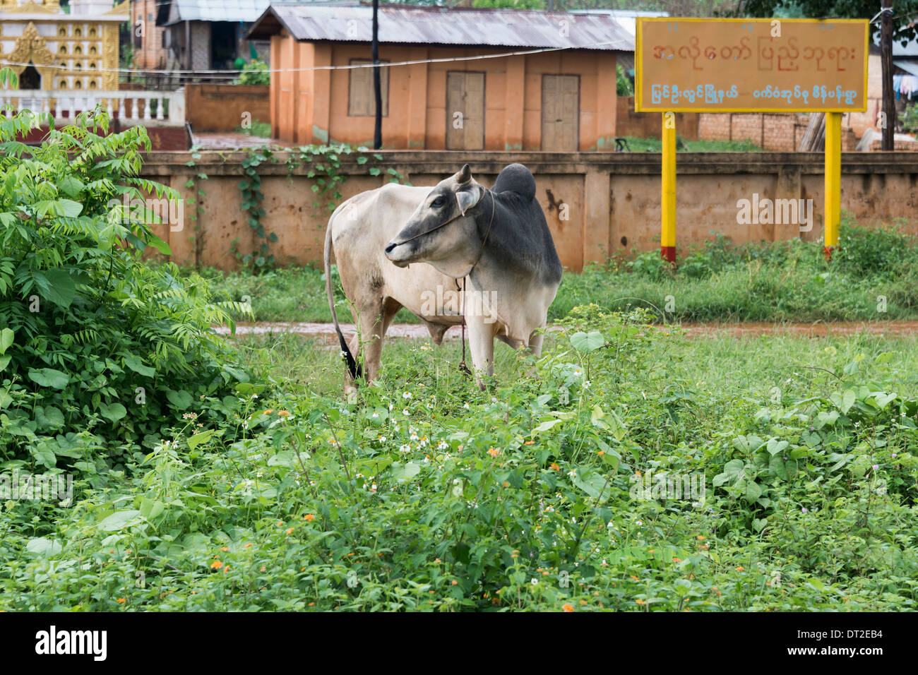 Zebu (Brahman cow) by the railway line in a village, Mandalay to Pyin Oo Lwin rail line, Myanmar - Stock Image