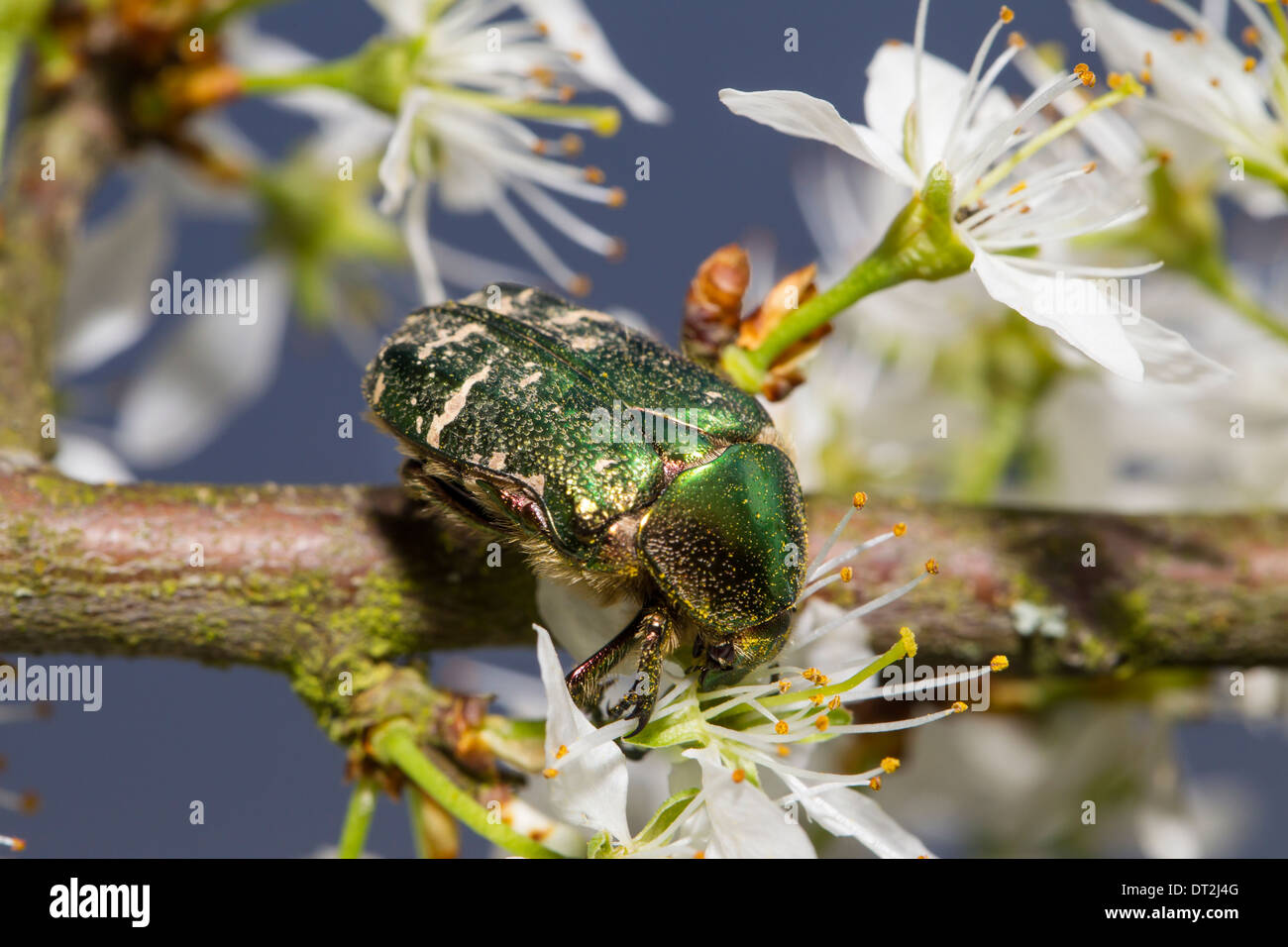Cetoniinae Flower chafers Rose beetle - Stock Image
