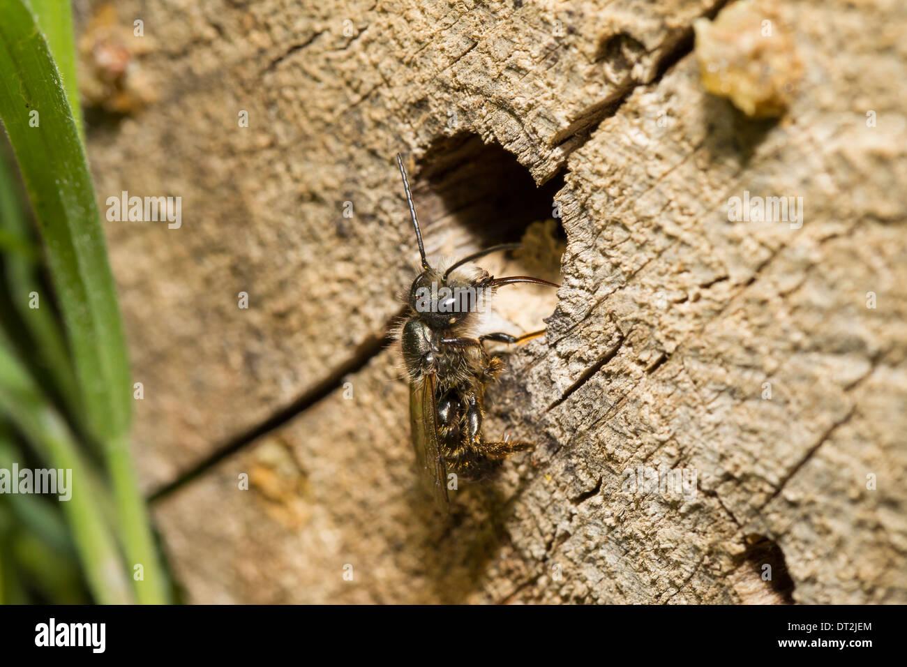 wild bees Wildbienen wildbiene - Stock Image