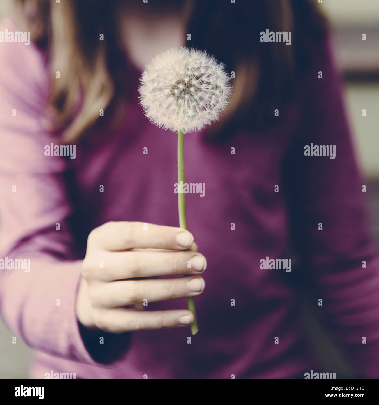 A ten year old girl holding a dandelion clock seedhead on a long stem - Stock Image