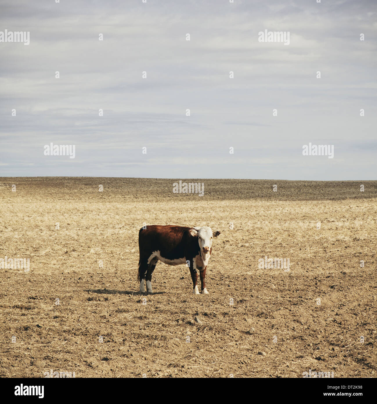 A cow standing in an open field in Palouse in Whitman County Washington in the USA - Stock Image