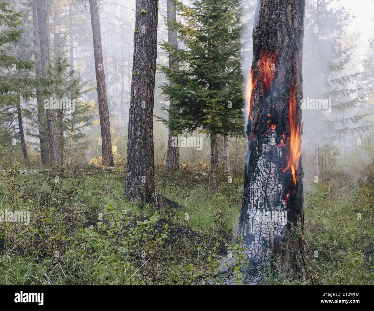 A controlled forest burn to help regrowth - Stock Image