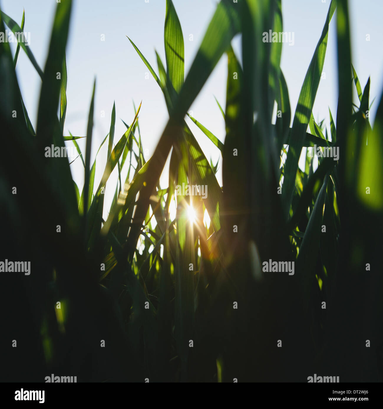 green lush field of wheat and the setting sun behind the stalks and stems at dusk near Pullman in Washington state USA - Stock Image