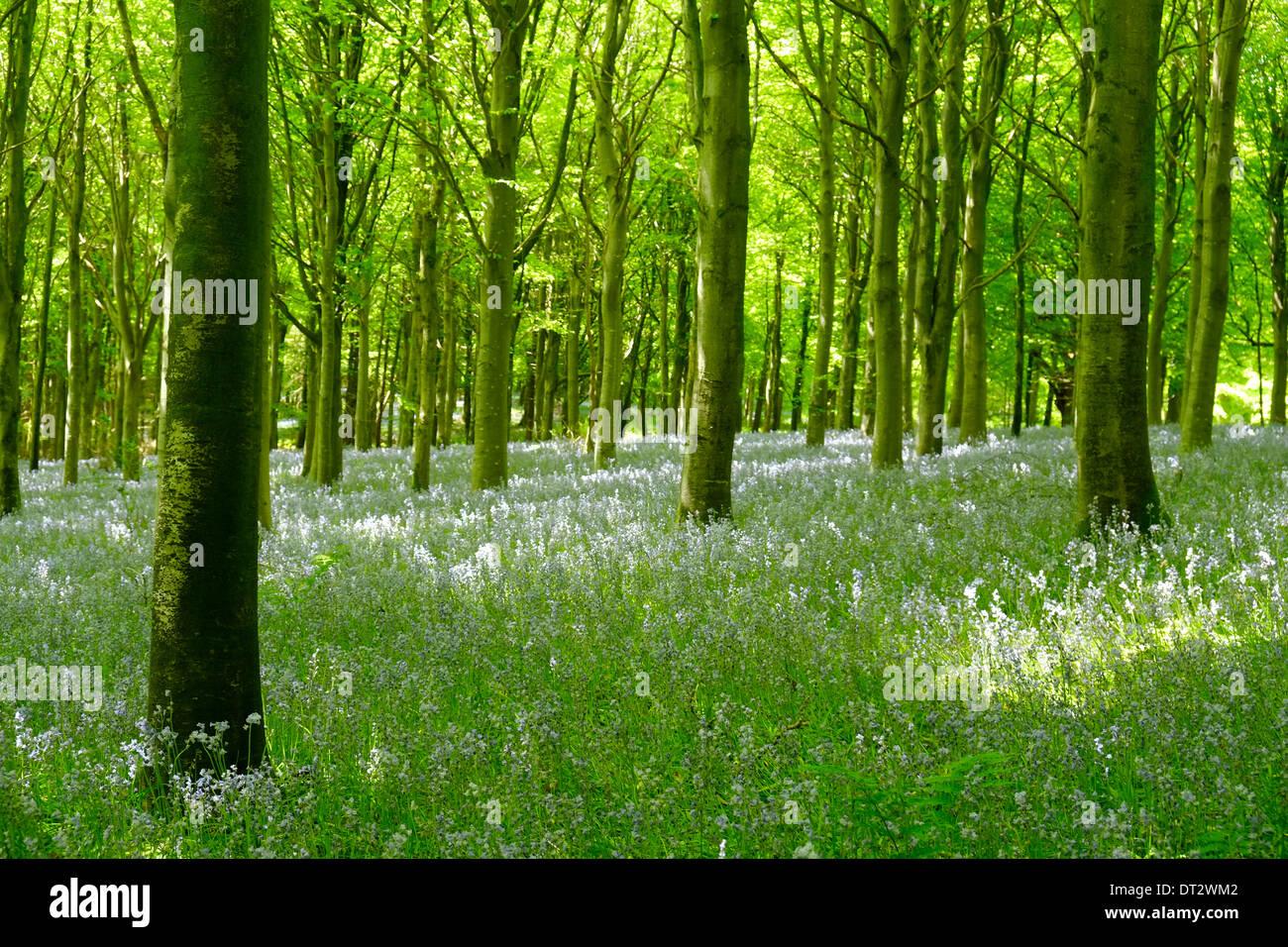 Bluebell woods, Dorset, UK - Stock Image