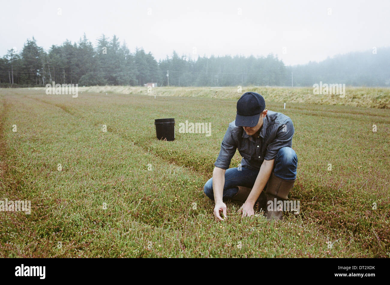 A cranberry farm in Massachusetts Crops in the fields A young man working on the land harvesting the crop - Stock Image