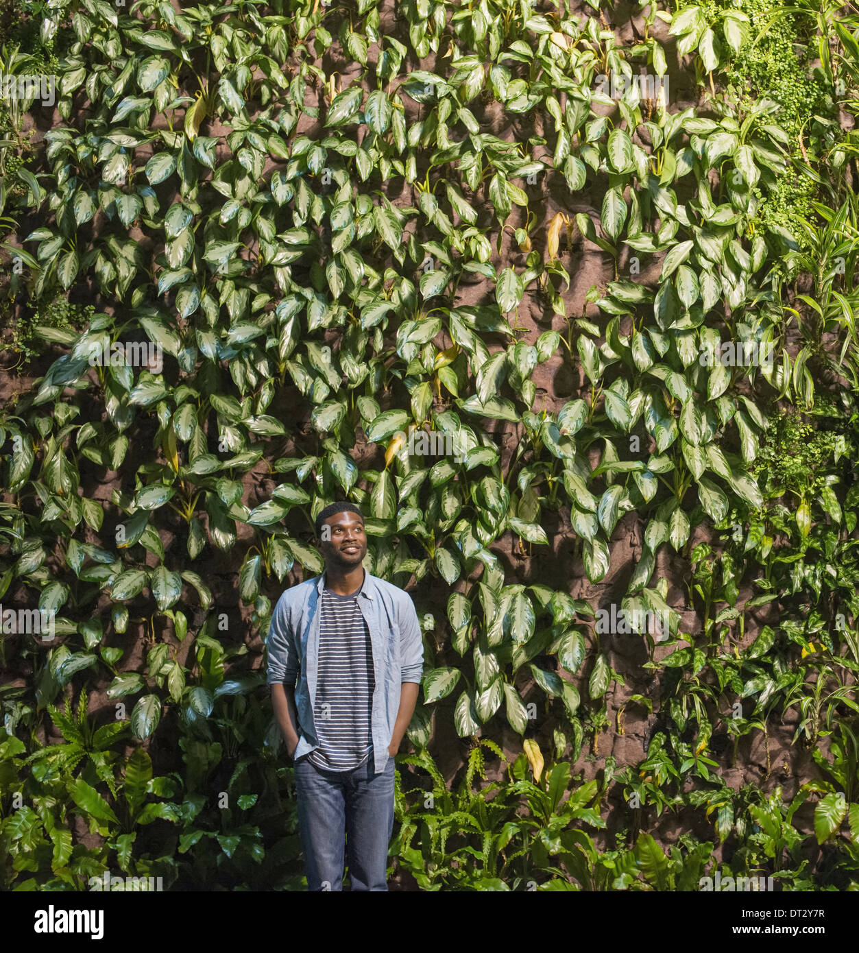 A man looking up at a high wall covered in climbing plants and foliage - Stock Image