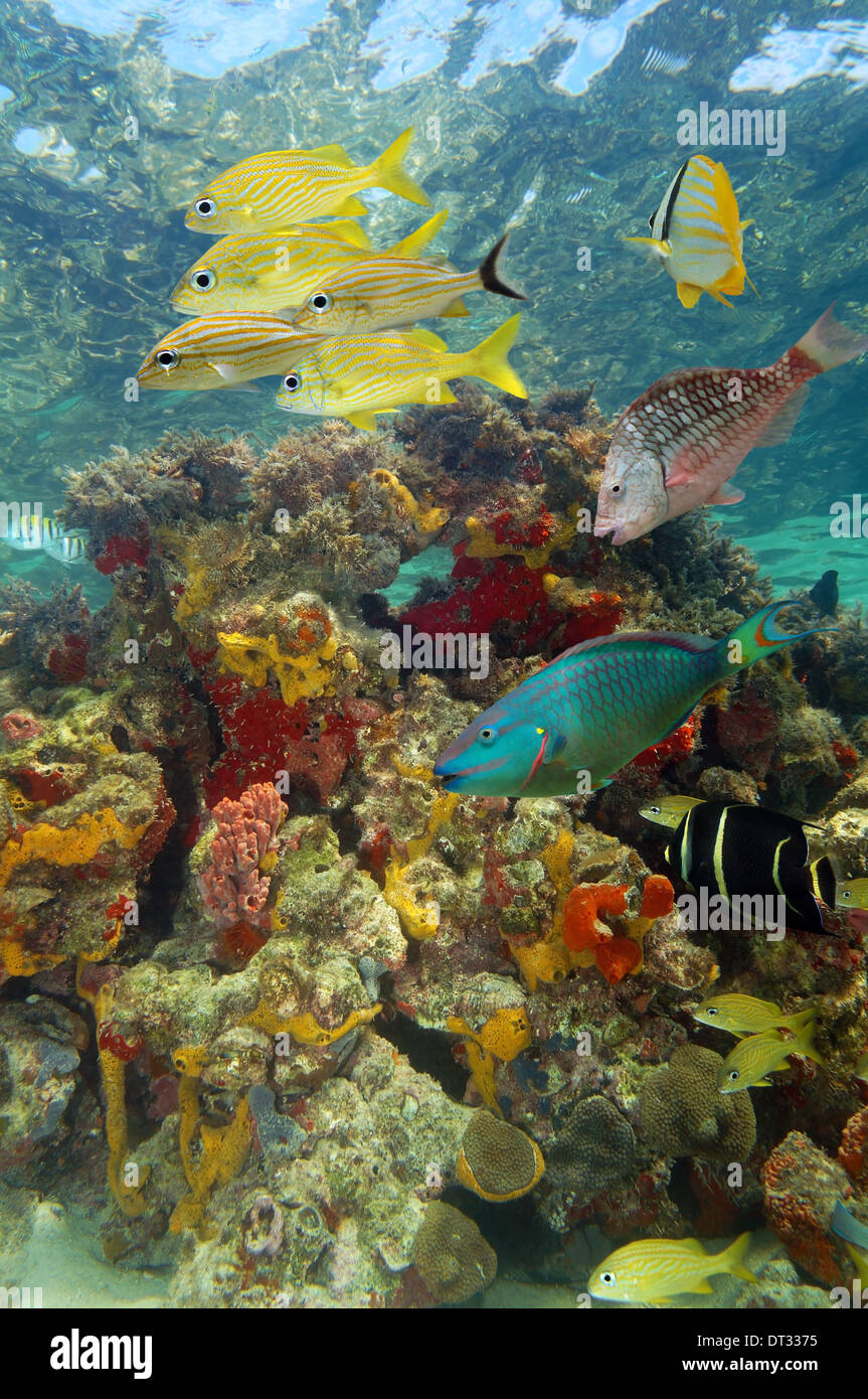 Underwater scenery in a coral reef with tropical fish and colorful marine life, Caribbean sea, Bay islands, Roatan, Stock Photo