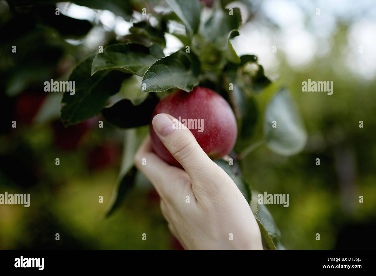 A hand reaching up into the boughs of a fruit tree picking a red ripe apple - Stock Image