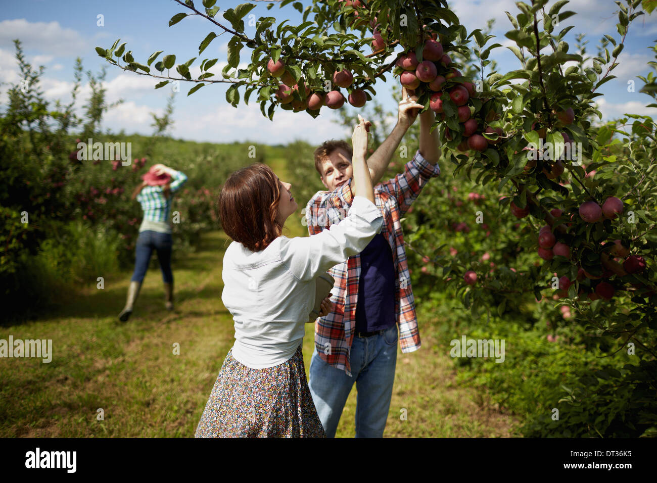 Rows of fruit trees in an organic orchard A group of people picking the ripe apples - Stock Image