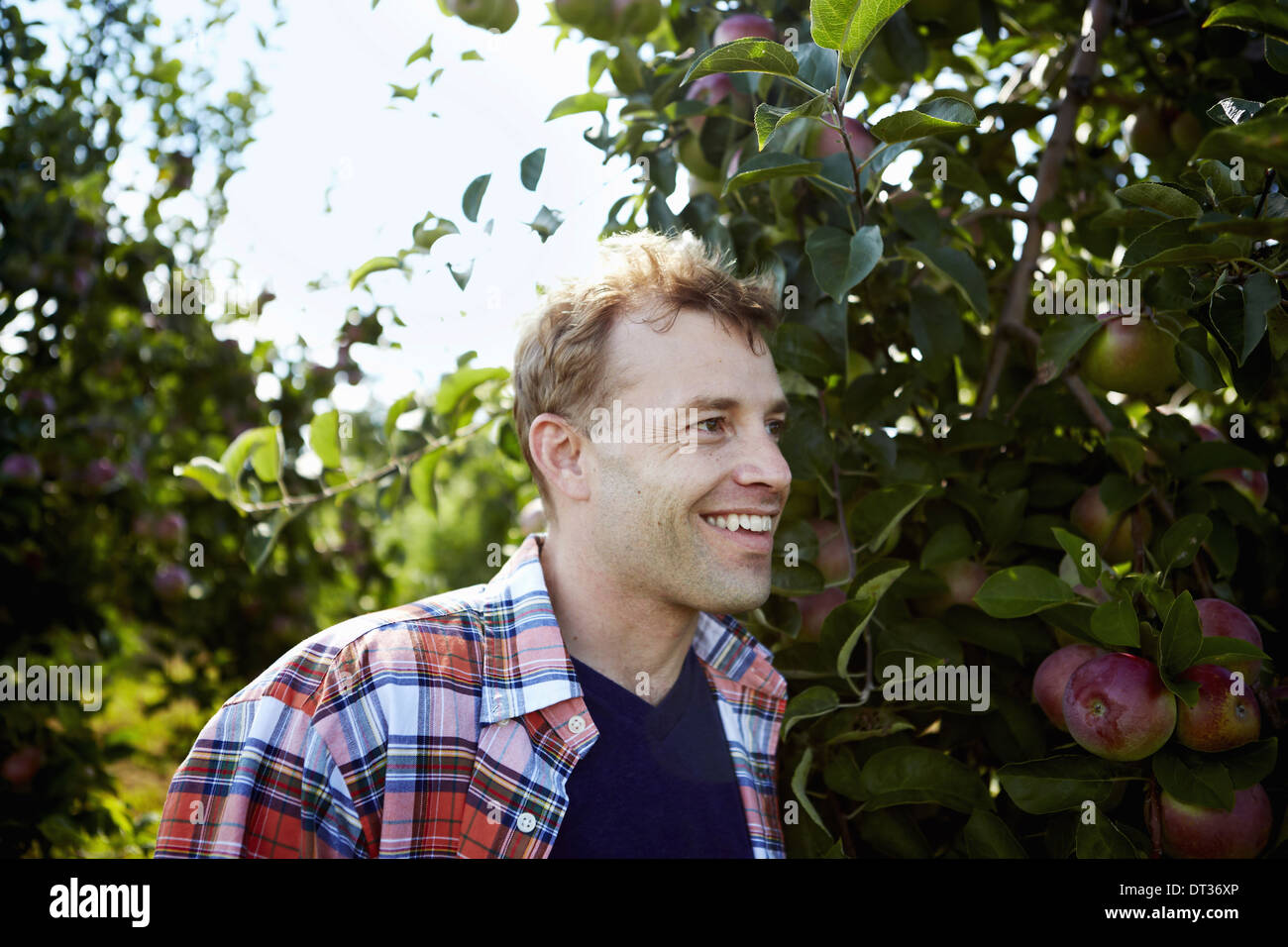 A man in a plaid shirt in an apple tree orchard - Stock Image