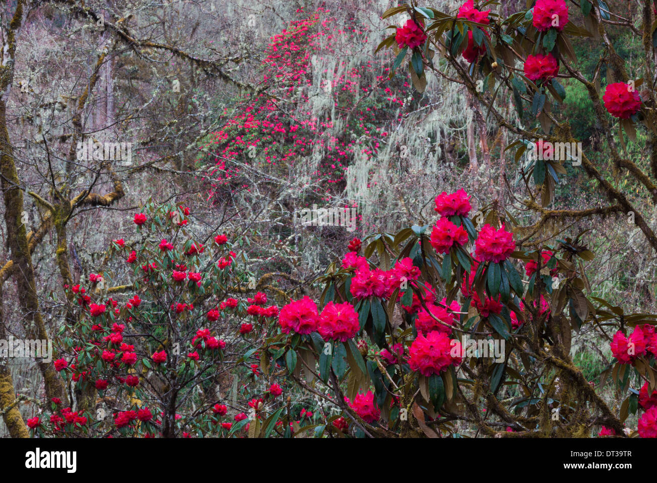 Rhododendron in bloom in the forests of Paro Valley, Bhutan - Stock Image