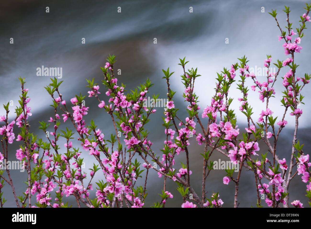 Springtime pink blossoms on a shrub in Bhutan - Stock Image