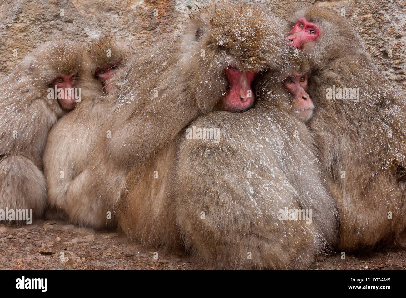 Japanese Macaques, Japanese Alps, Honshu Island, Japan - Stock Image