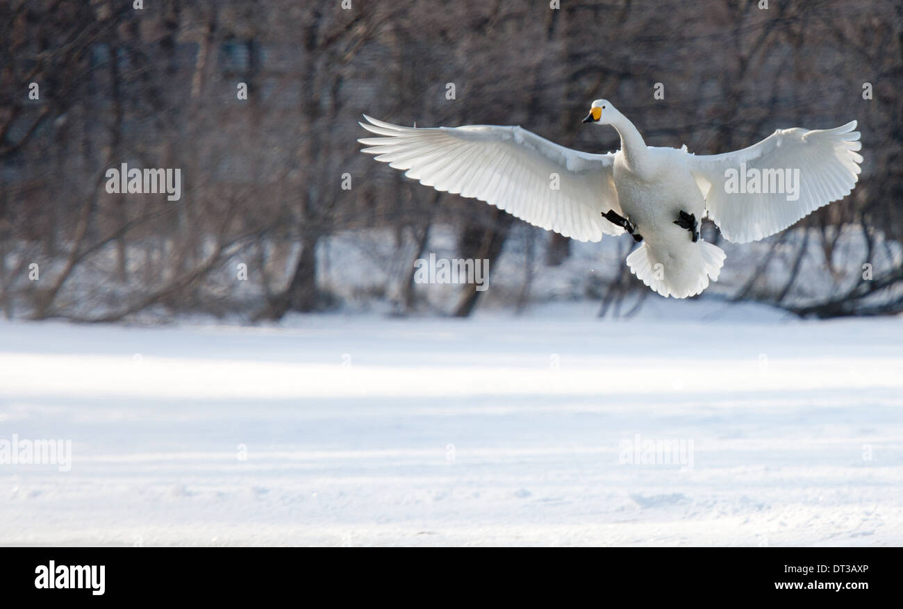 Cygnus cygnus, Whooper swans, on a frozen lake in Hokkaido. Stock Photo
