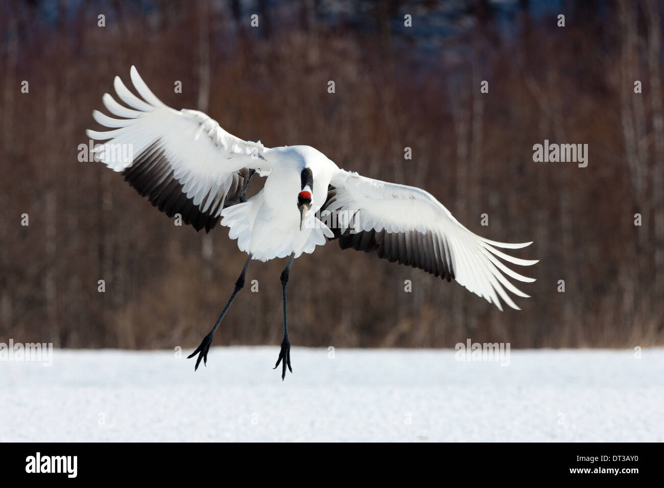 Japanese crane, Hokkaido, Japan - Stock Image