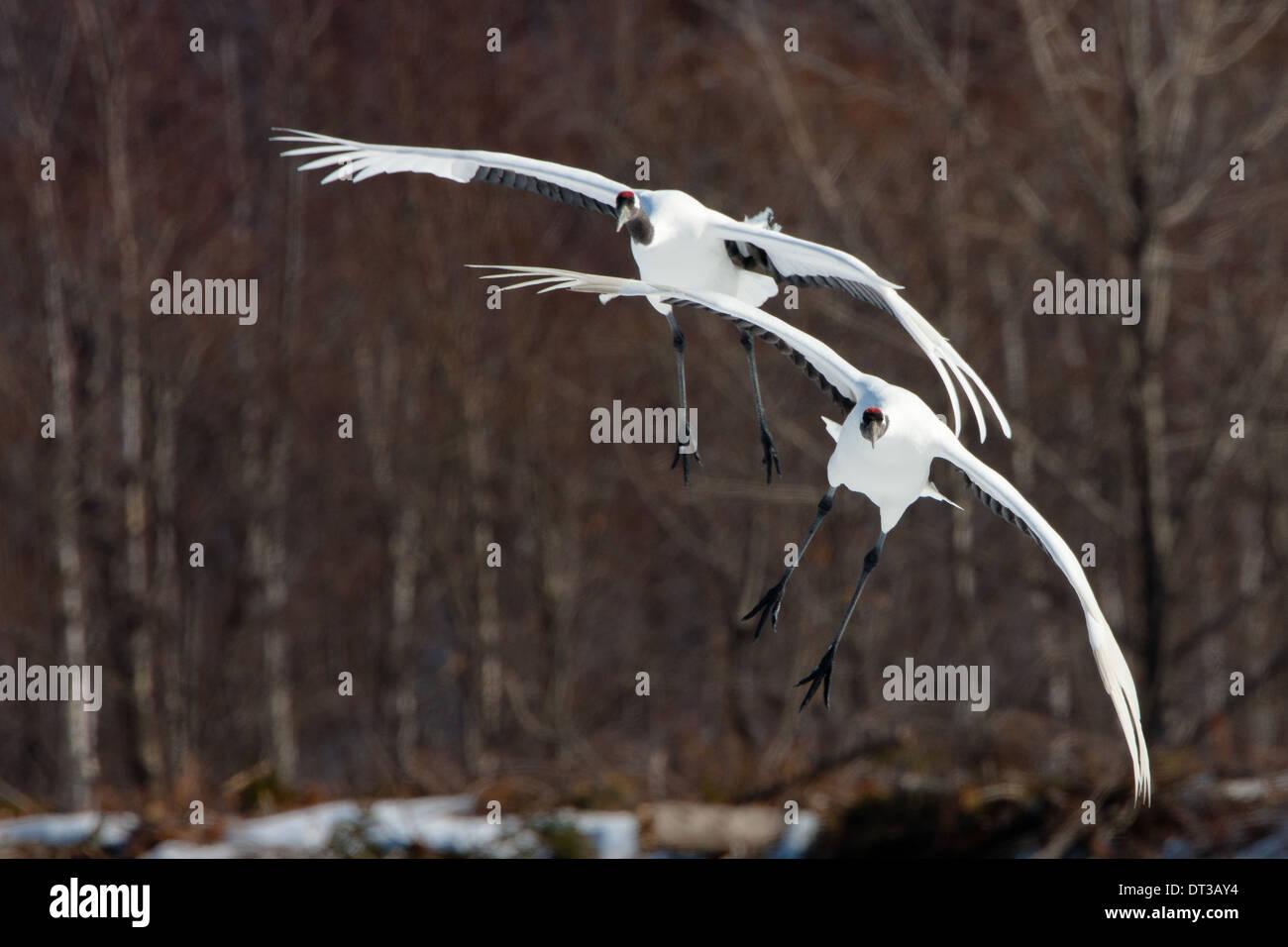 Japanese cranes, Hokkaido, Japan - Stock Image