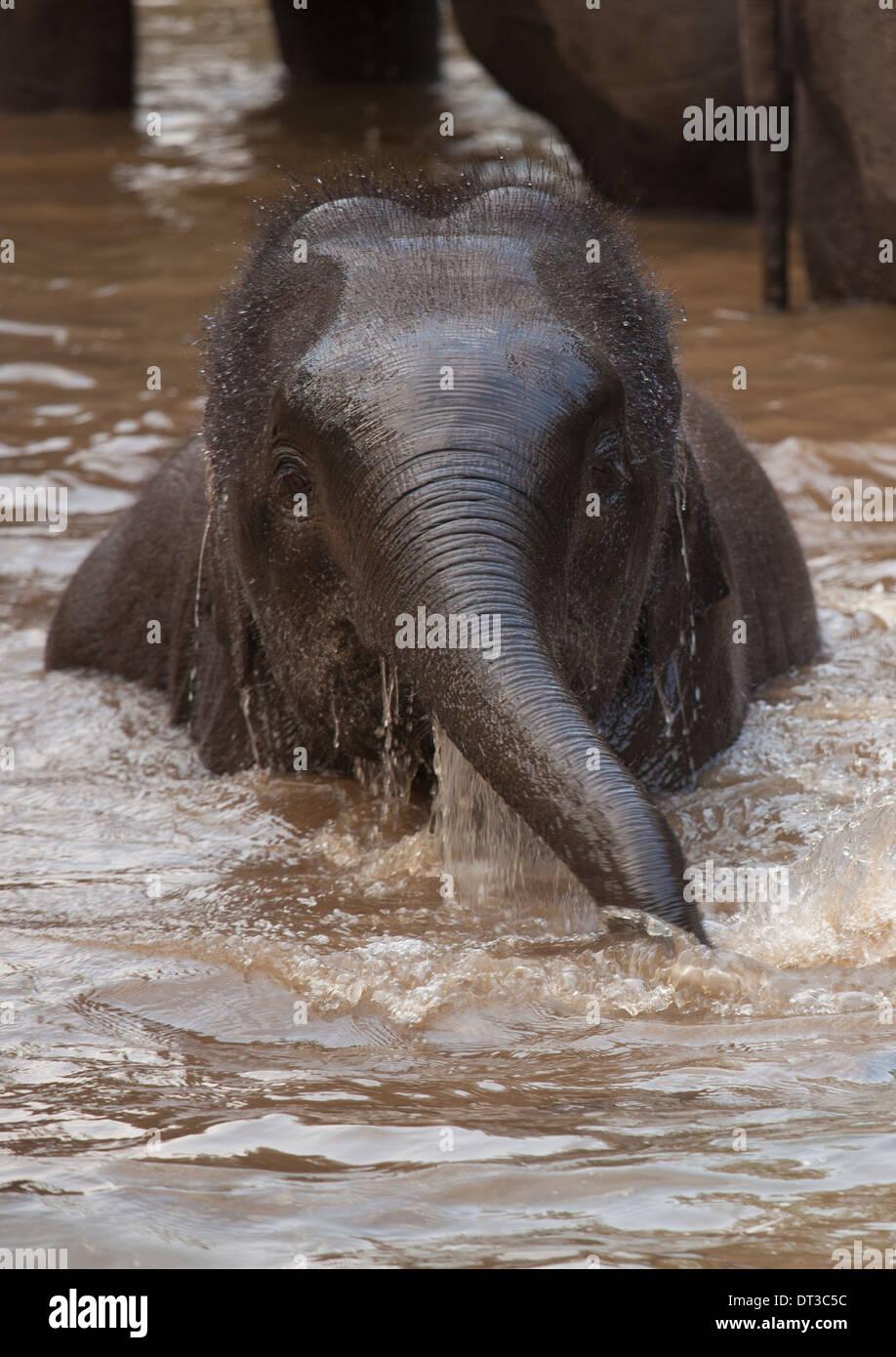 Asian elephants, Bandhavgarh National Park, India - Stock Image
