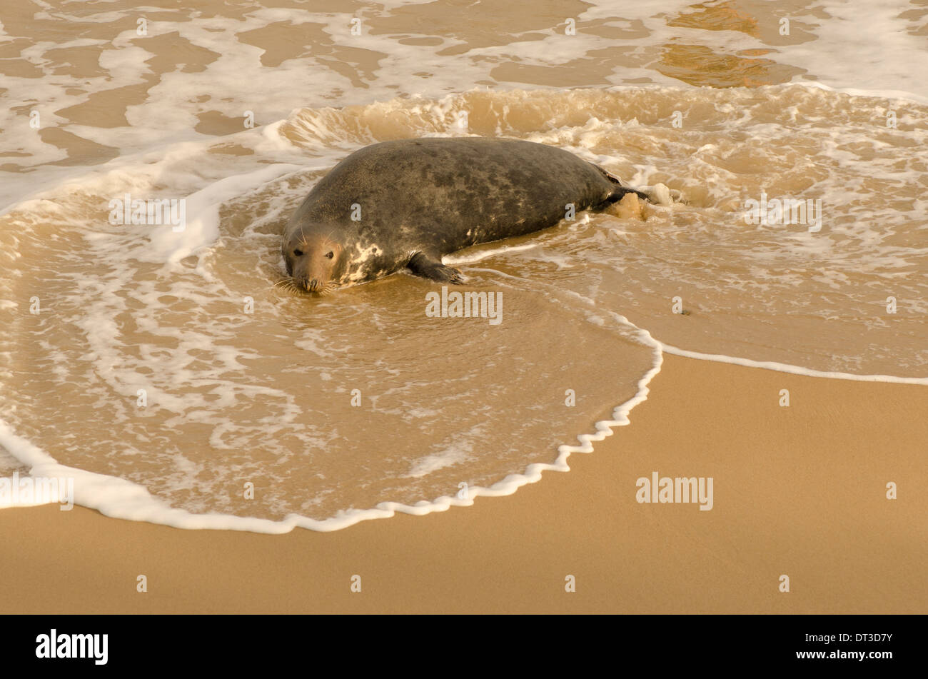 Grey seal [Halichoerus grypus] female probably lost pup following 2013 tidal surge. December. Norfolk. Near Winterton Stock Photo