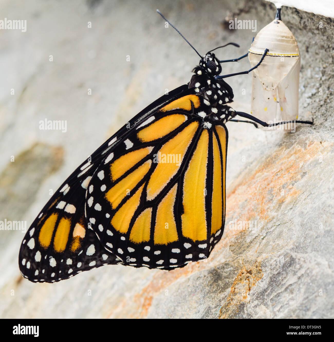 Monarch Butterfly (Danaus plexippus) just emerged from its chrysalis. - Stock Image