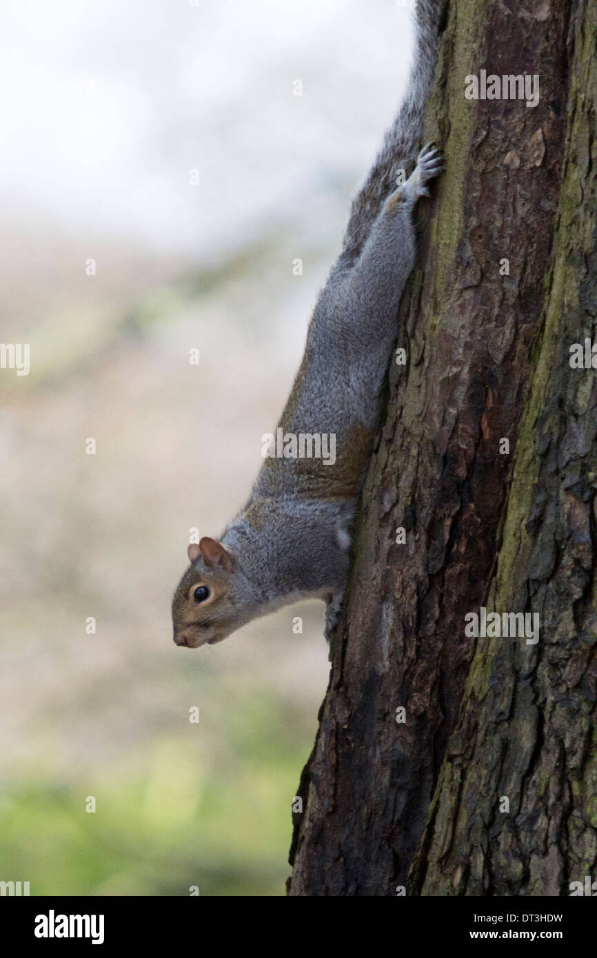 Eastern Gray Squirrel hanging upside down in a tree foraging for food in a local park - Stock Image