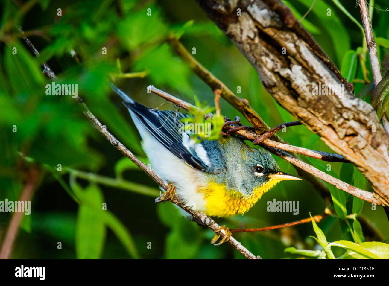 Northern Parula (Setophaga americana) perched in a tree. - Stock Image