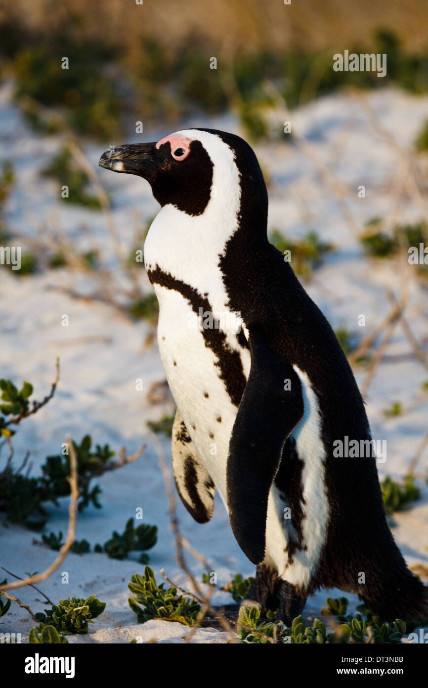 African penguin facing the sun at edge of beach at breeding grounds - Stock Image