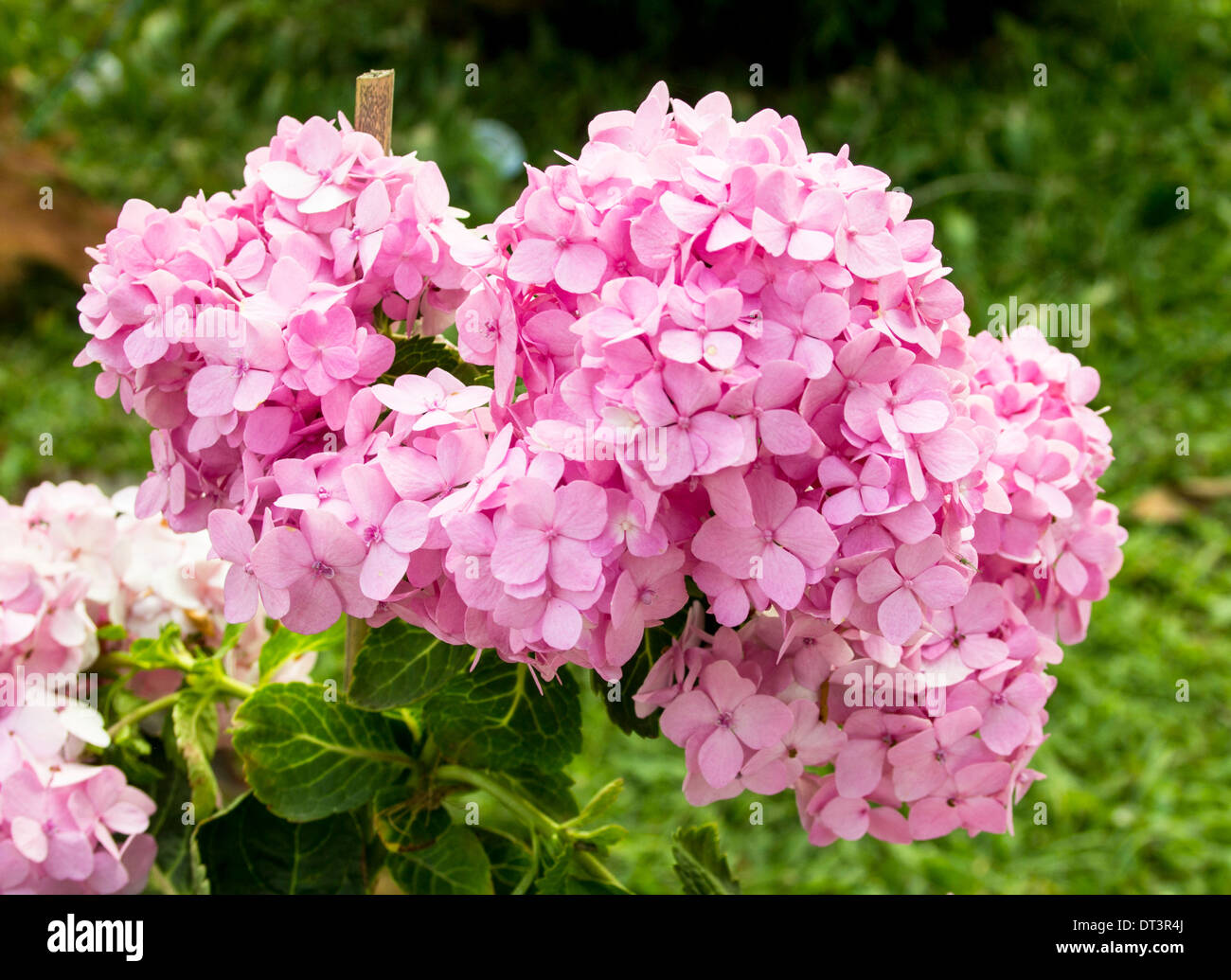 Beautiful blooming pink hydrangea flowers - Stock Image