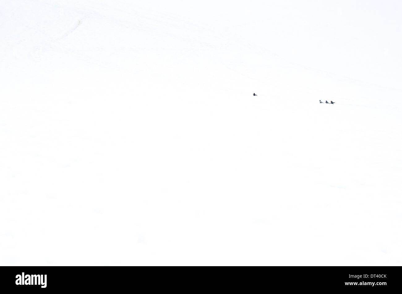 A minimalist image, with Chinstrap Penguins (Pygoscelis antarctica) in a huge white monotone landscape, its Antarctic habitat. - Stock Image