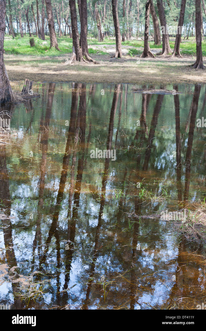 Casuarina trees reflected in a pond, Thailand - Stock Image