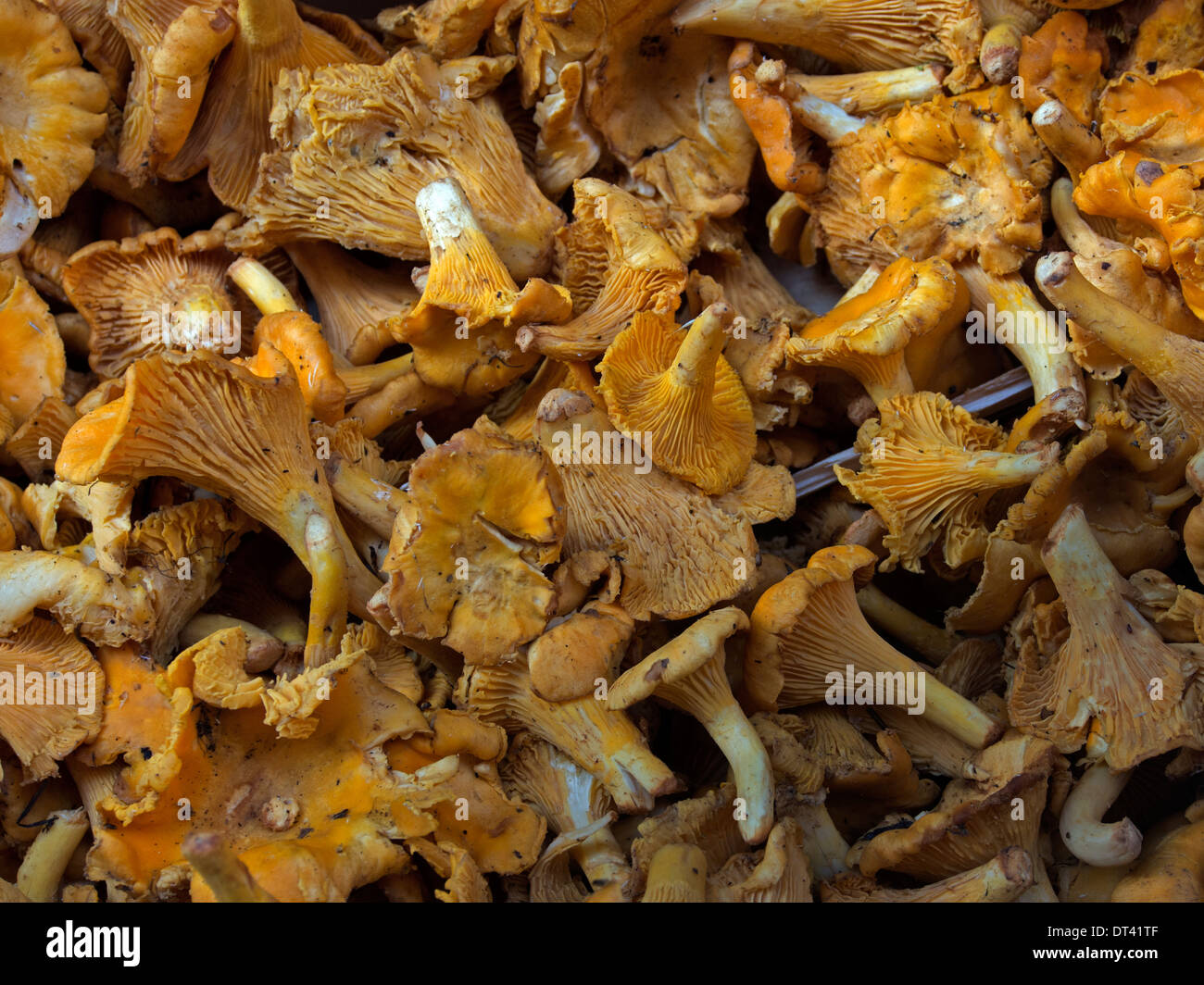 Chanterelle mushrooms on sale in a delicatessen in Bologna, Italy - Stock Image