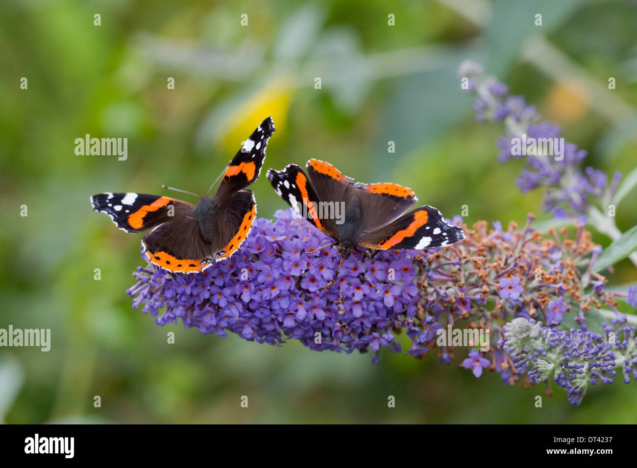 Red Admiral Butterflies; Vanessa atalanta; on Buddleia Flowers; Summer; UK - Stock Image