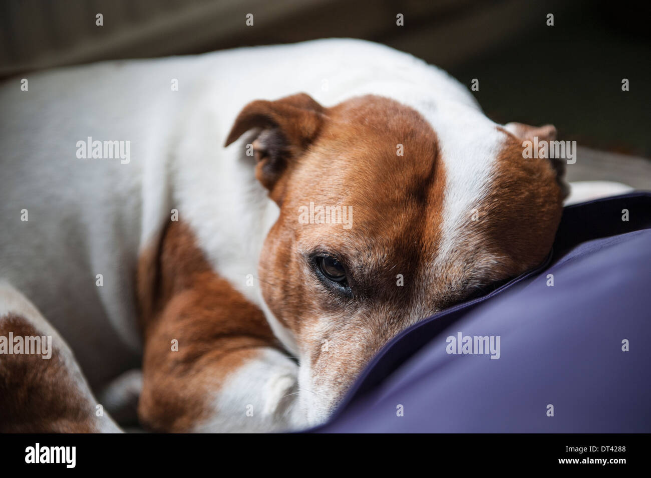 Staffy on a Bean Bag - Stock Image