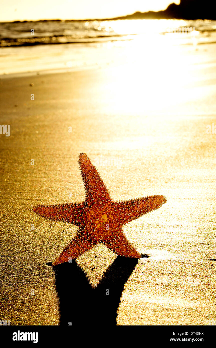seastar on the shore of a beach at sunset - Stock Image