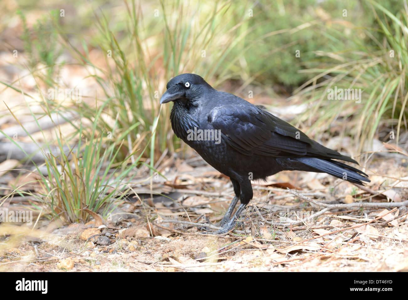 Australian raven (Corvus coronoides) foraging for food in scrub land. - Stock Image