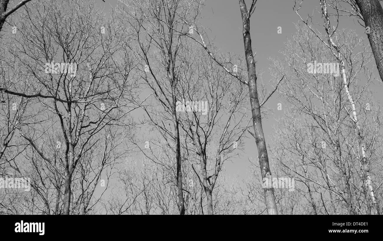 Deciduous beech forest canopy as seen from below in winter without leaves - Stock Image