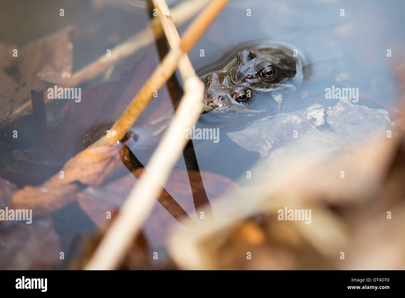 A couple of common frogs, Rana temporaria mating in the water in spring - Stock Image