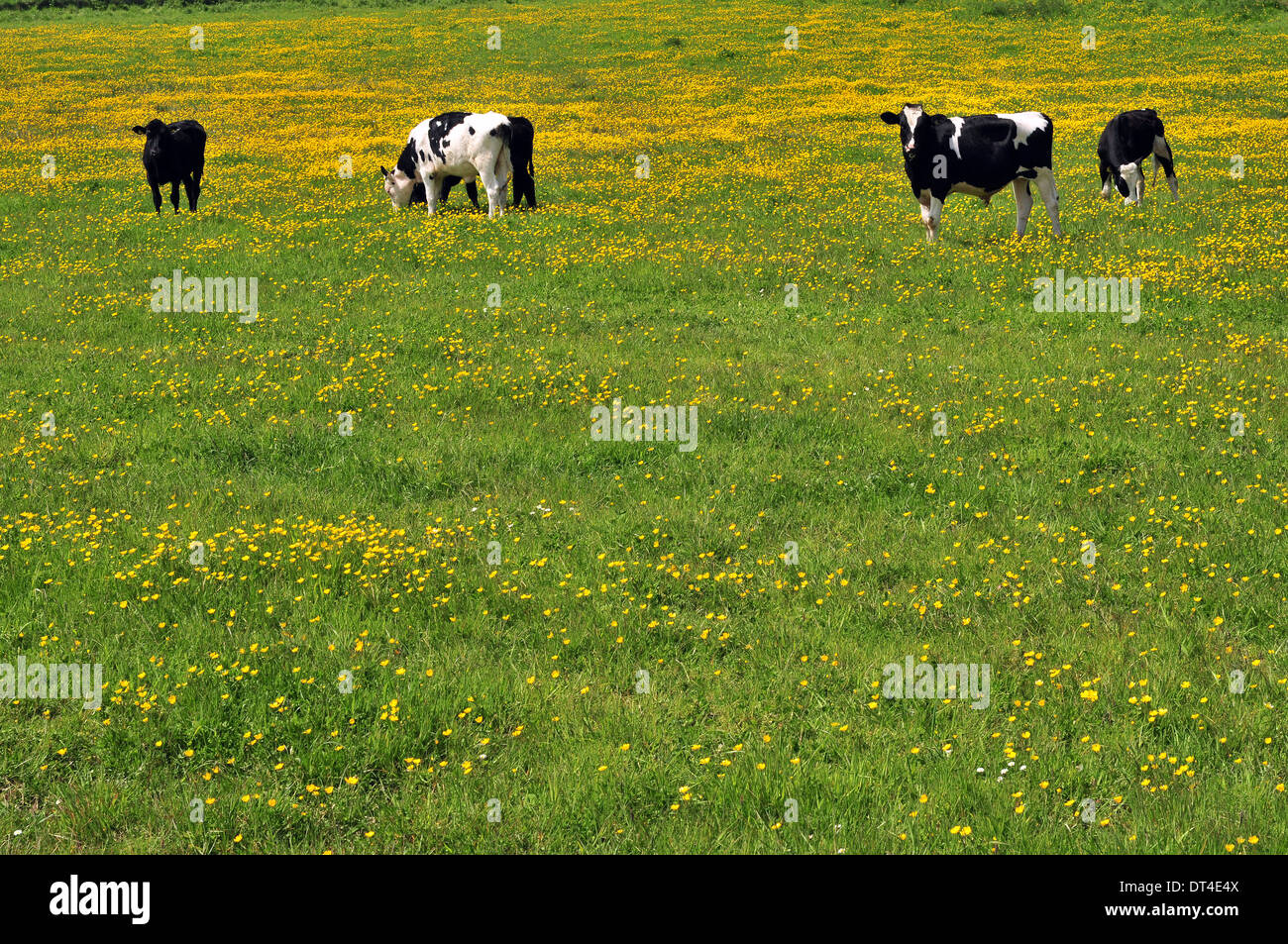 Grazing Cattle Pasture Yellow Flowers Stock Photos Grazing Cattle