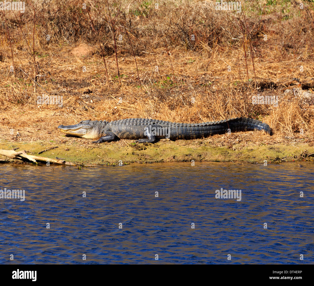 American alligator (Alligator mississippiensis), basking in winter sun at Brazos Bend State Park, Texas - Stock Image