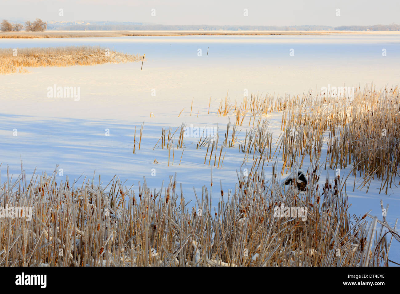 Frozen lake and ice coated bullrushes after a winter storm in Southern Ontario - Stock Image