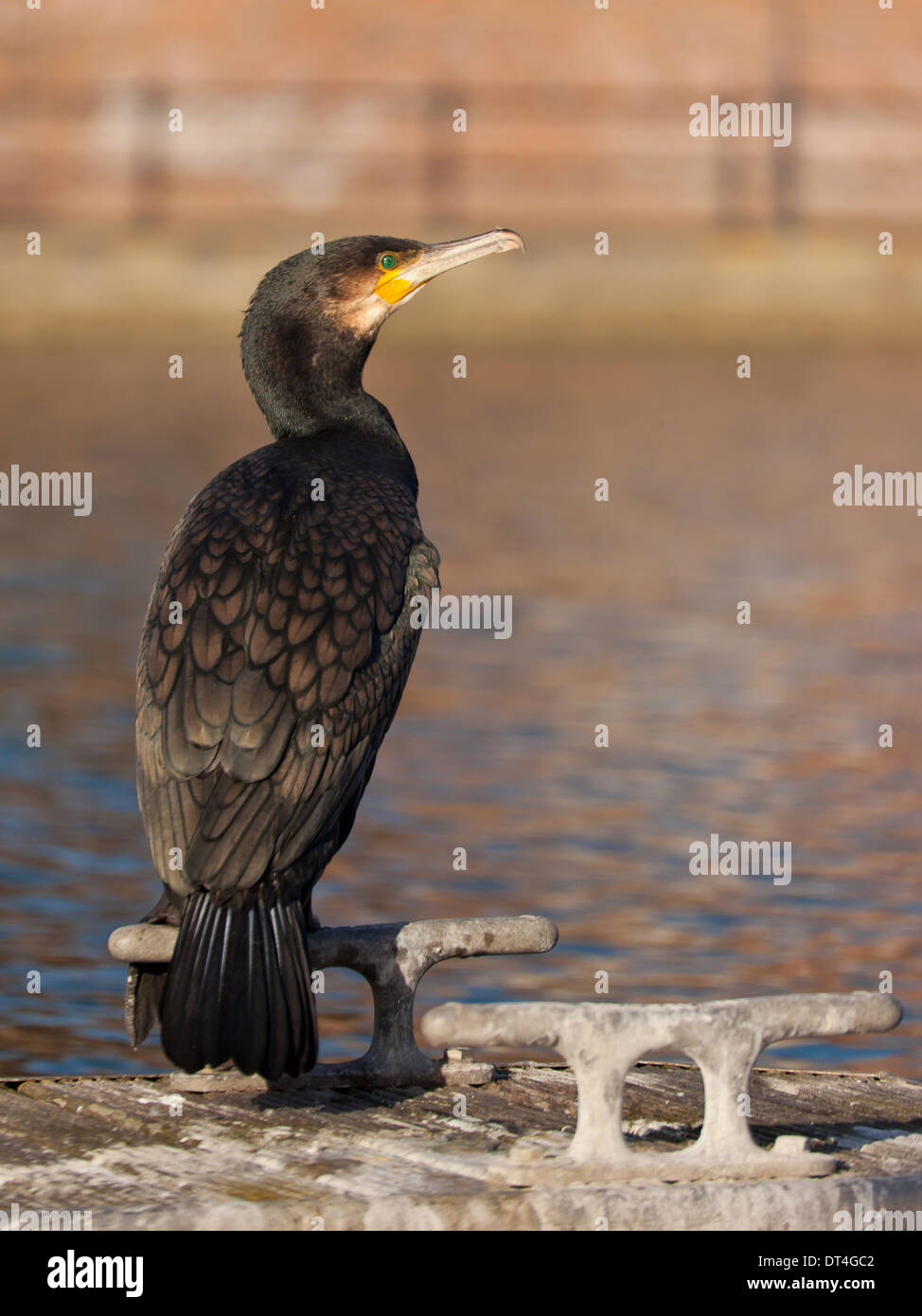 A cormorant sitting on a cleat on a pontoon in a marina - Stock Image