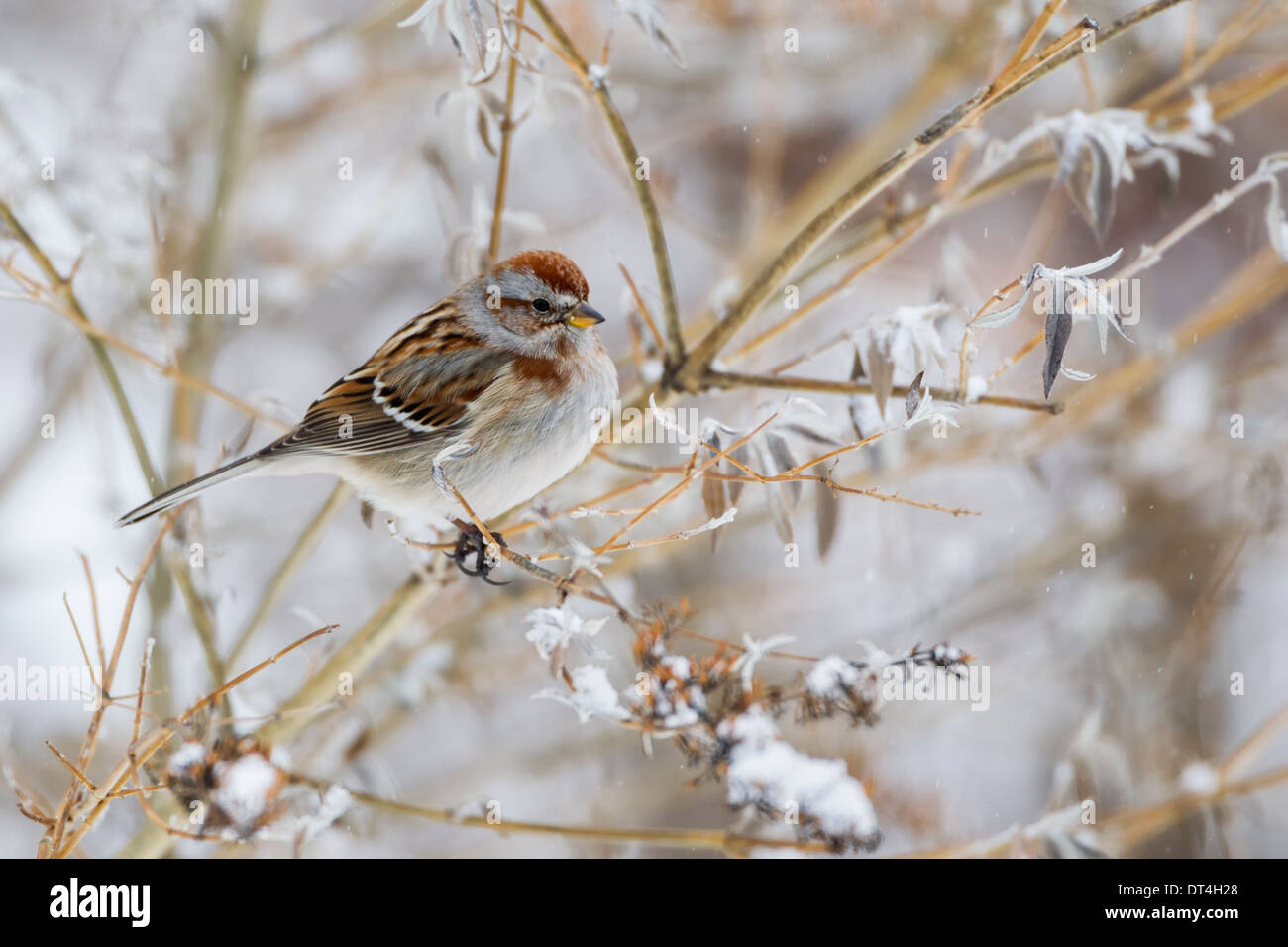 Chipping Sparrow in winter and snow - Stock Image