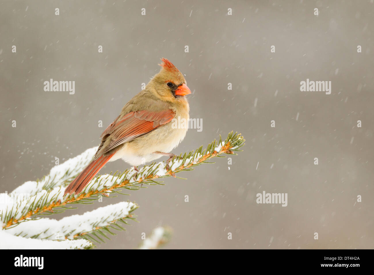 Female Cardinal in snow storm - Stock Image