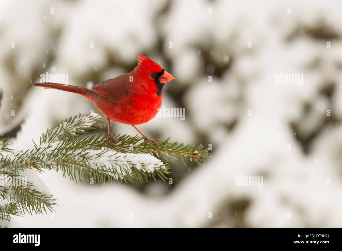 Male Northern Cardinal in snow storm - Stock Image