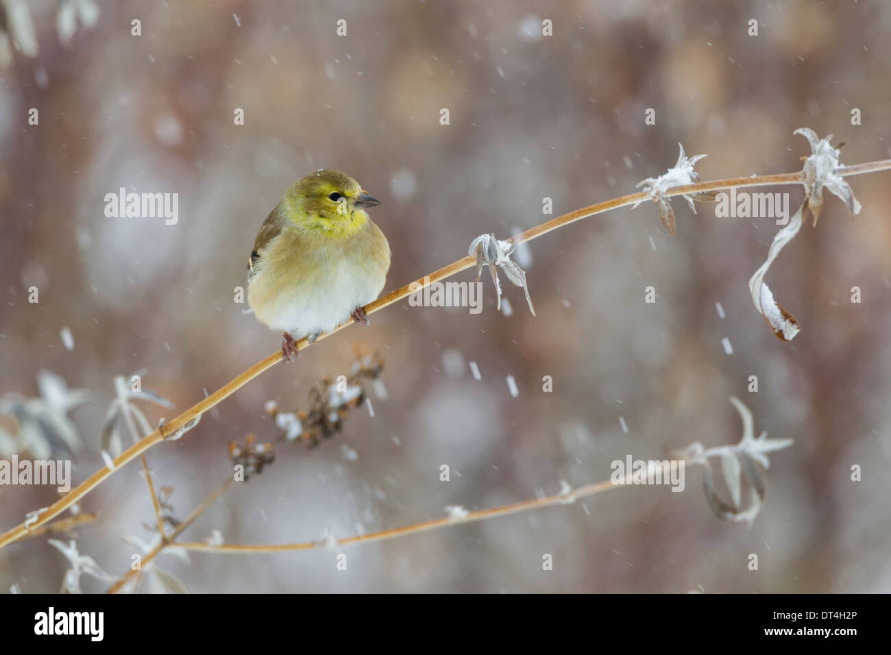 Goldfinch winter colors in snow storm - Stock Image