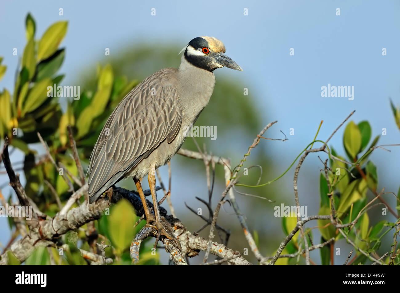 Yellow-crowned Night Heron or American Night Heron (Nycticorax violaceus), Sanibel Island, Florida, USA - Stock Image
